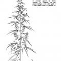 Mainmise, La dope, page 34 (Plant de cannabis)
