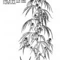 Mainmise, La dope, page 35 (Plant de cannabis)