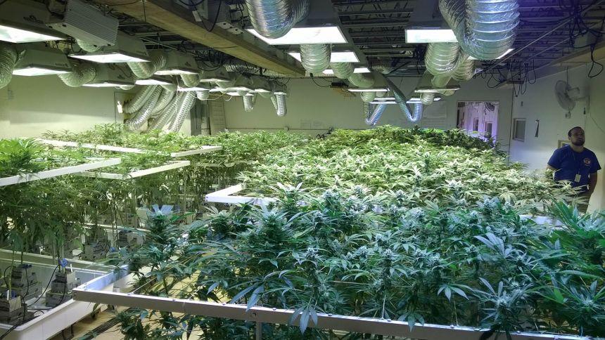 Culture intérieure au 3D Cannabis Center de Denver. Photo: Hugô St-Onge.