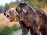 Venez chasser l'ours prohibitionniste avec nous !